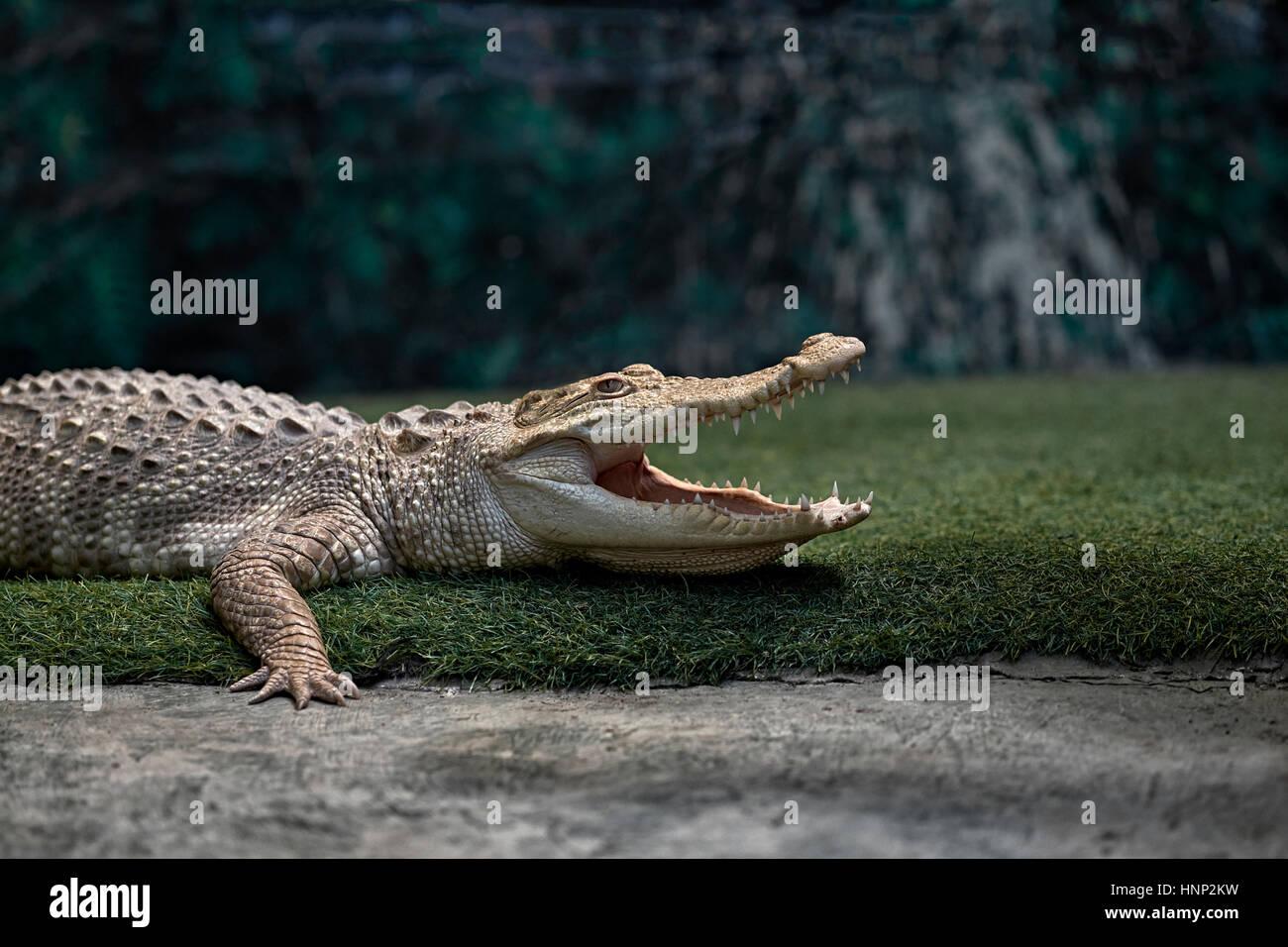 Albino Crocodile, (Crocodylinae), mouth open, Thailand, Southeast Asia - Stock Image
