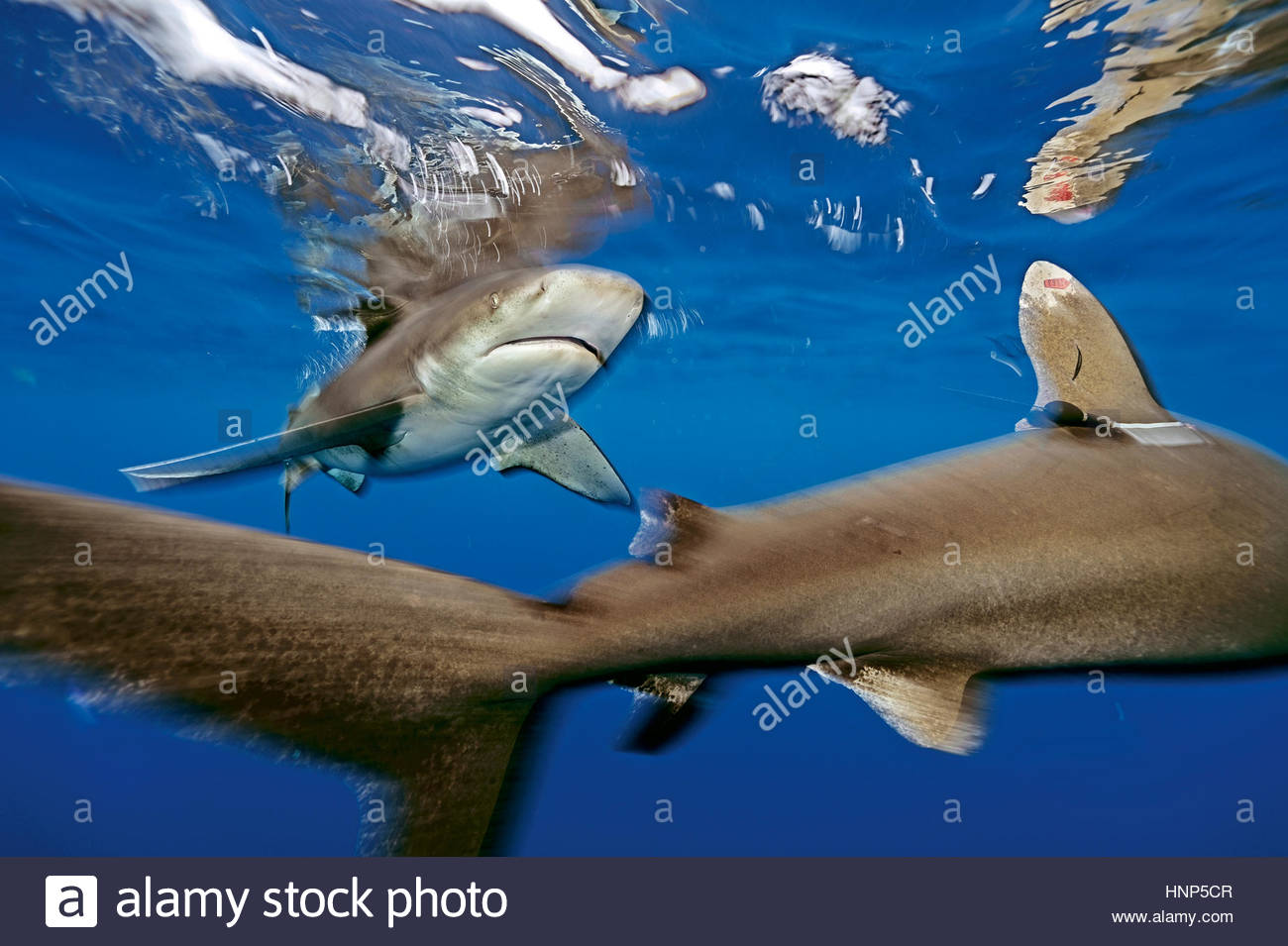 An oceanic whitetip shark, Carcharhinus longimanus, with satellite and identification tags, swims in the waters - Stock Image