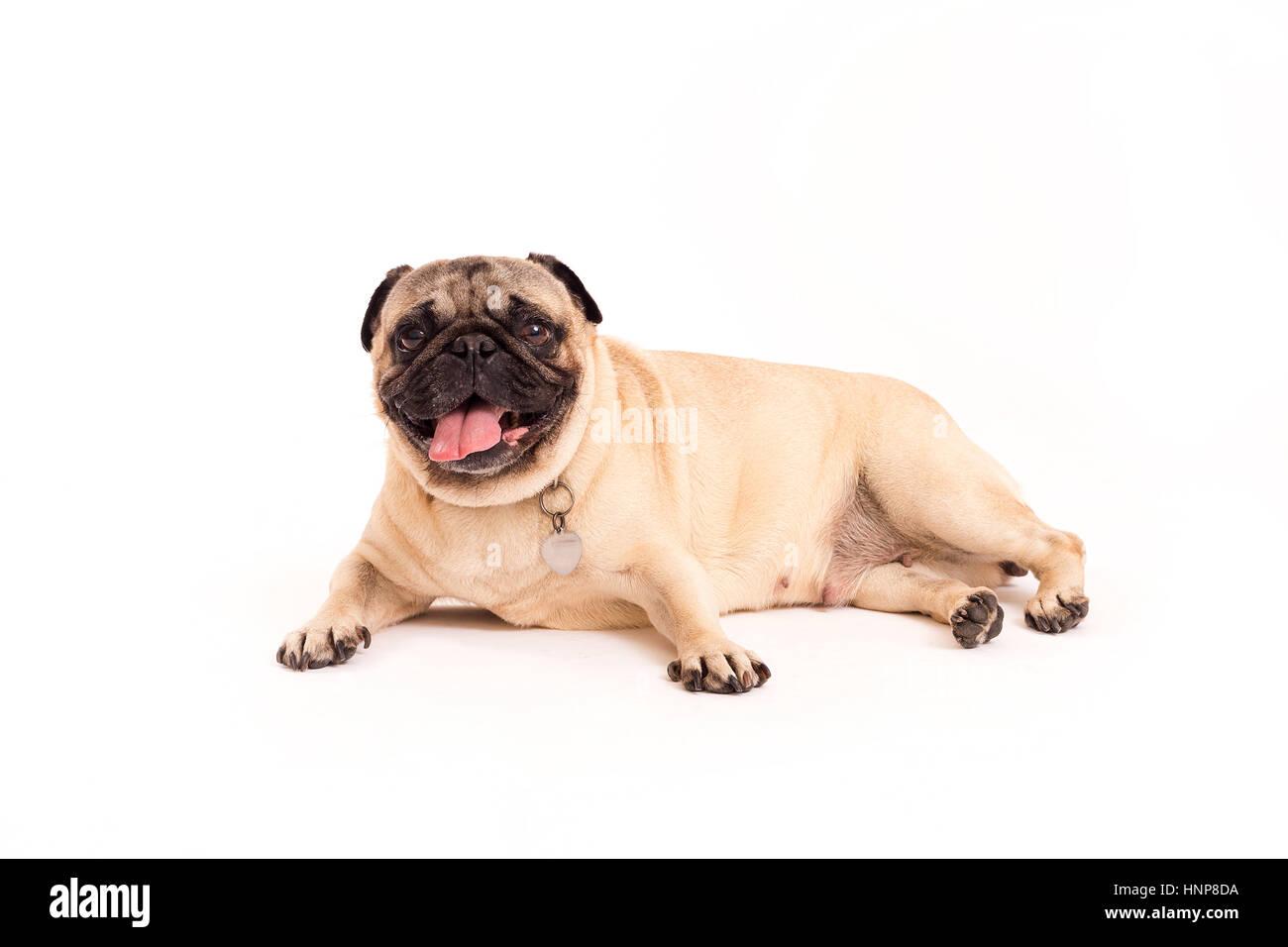 Pug resting - Stock Image