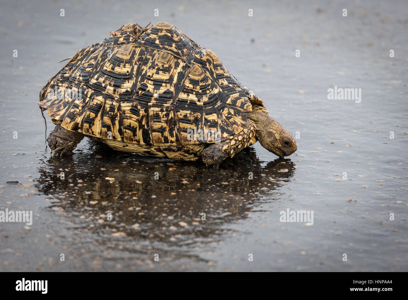 Leopard tortoise (Geochelone pardalis) drinking in water, Kruger National Park, South Africa - Stock Image