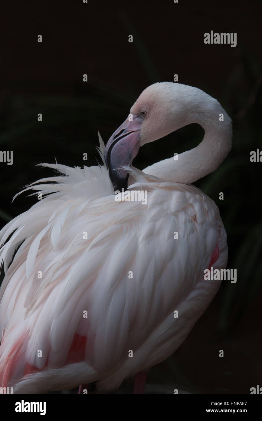 Chilean Flamingo (Phoenicopterus chilensis)  with long neck clean its feathers. Birdwatching travel: Iguassu National - Stock Image