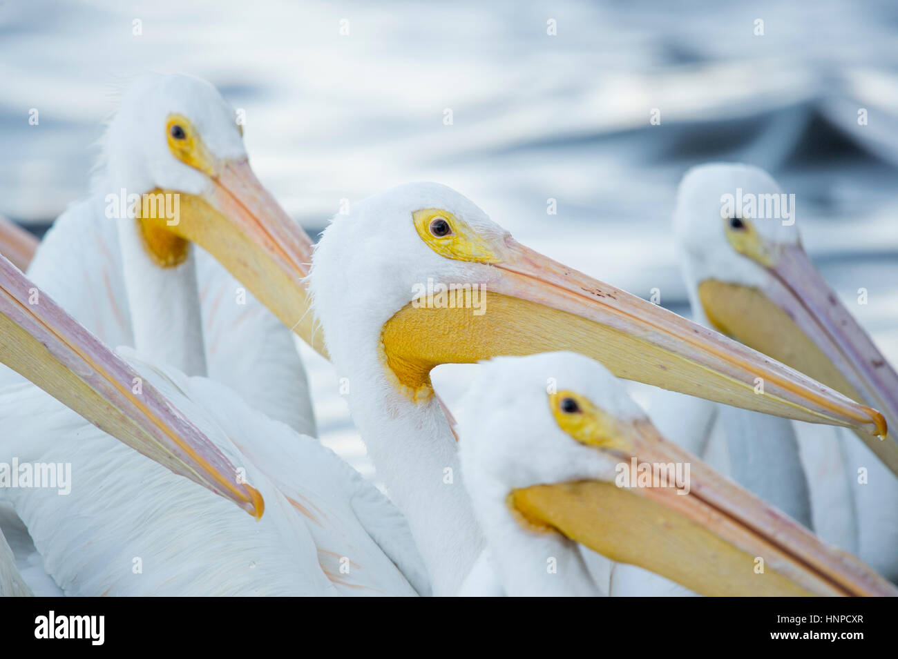 A flock of White Pelicans all hold their large beaks up in soft light in search of food. - Stock Image