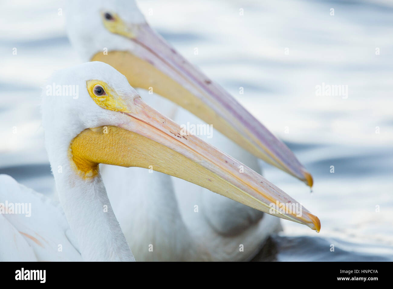 A pair of White Pelicans float in the water in soft light showing off their large yellow and pink beaks. - Stock Image