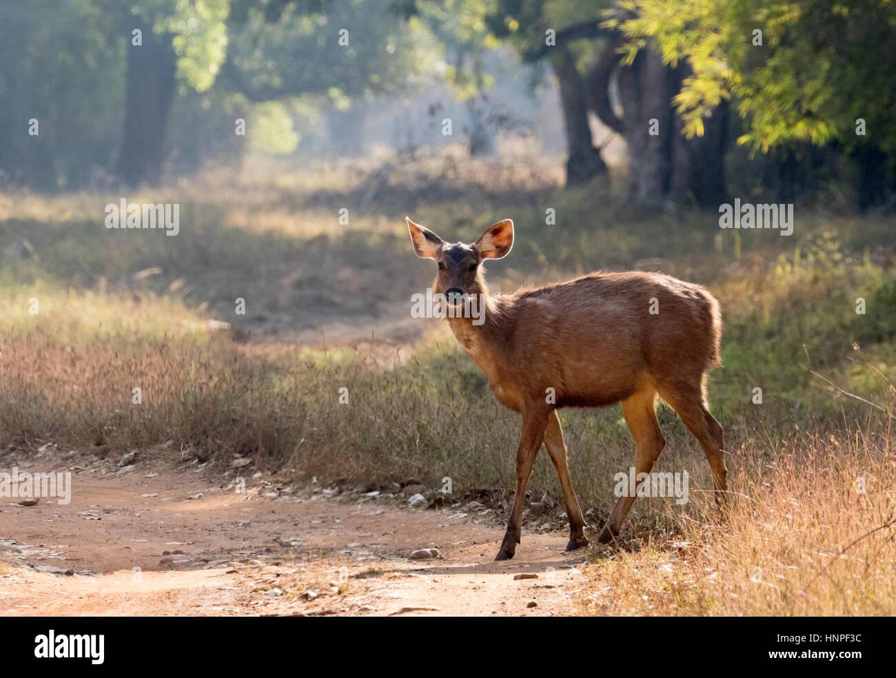 Sambar Deer, adult female, Rusa unicolor, Tadoba National Park, maharashtra State, India Asia - Stock Image