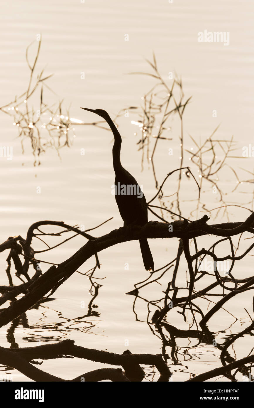 Oriental Darter,  Indian Darter, or Snakebird, ( Anhinga melanogaster ), silhouetted against the water, Tadoba Lake, - Stock Image