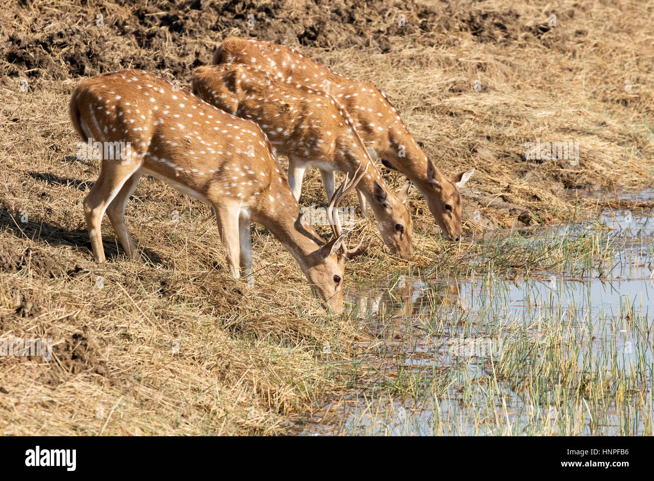 A male and two female Spotted Deer, otherwise known as Axis Deer or Chital ( Axis Axis ) drinking water, Tadoba - Stock Image