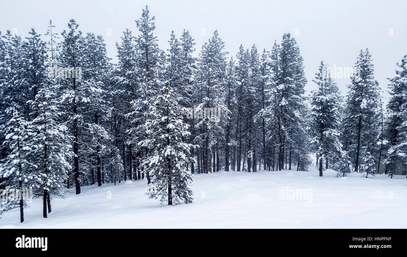 Snow covered conifer trees near McCall in southern Idaho. - Stock Image