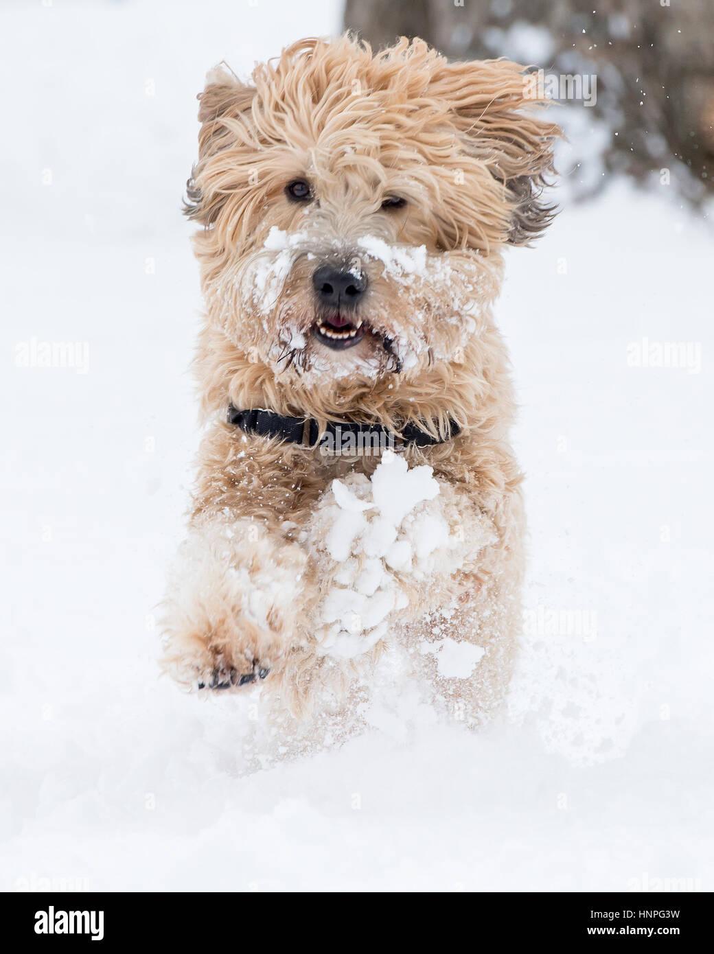 Wheaten Terrier Stock Photos & Wheaten Terrier Stock Images - Page 2 ...