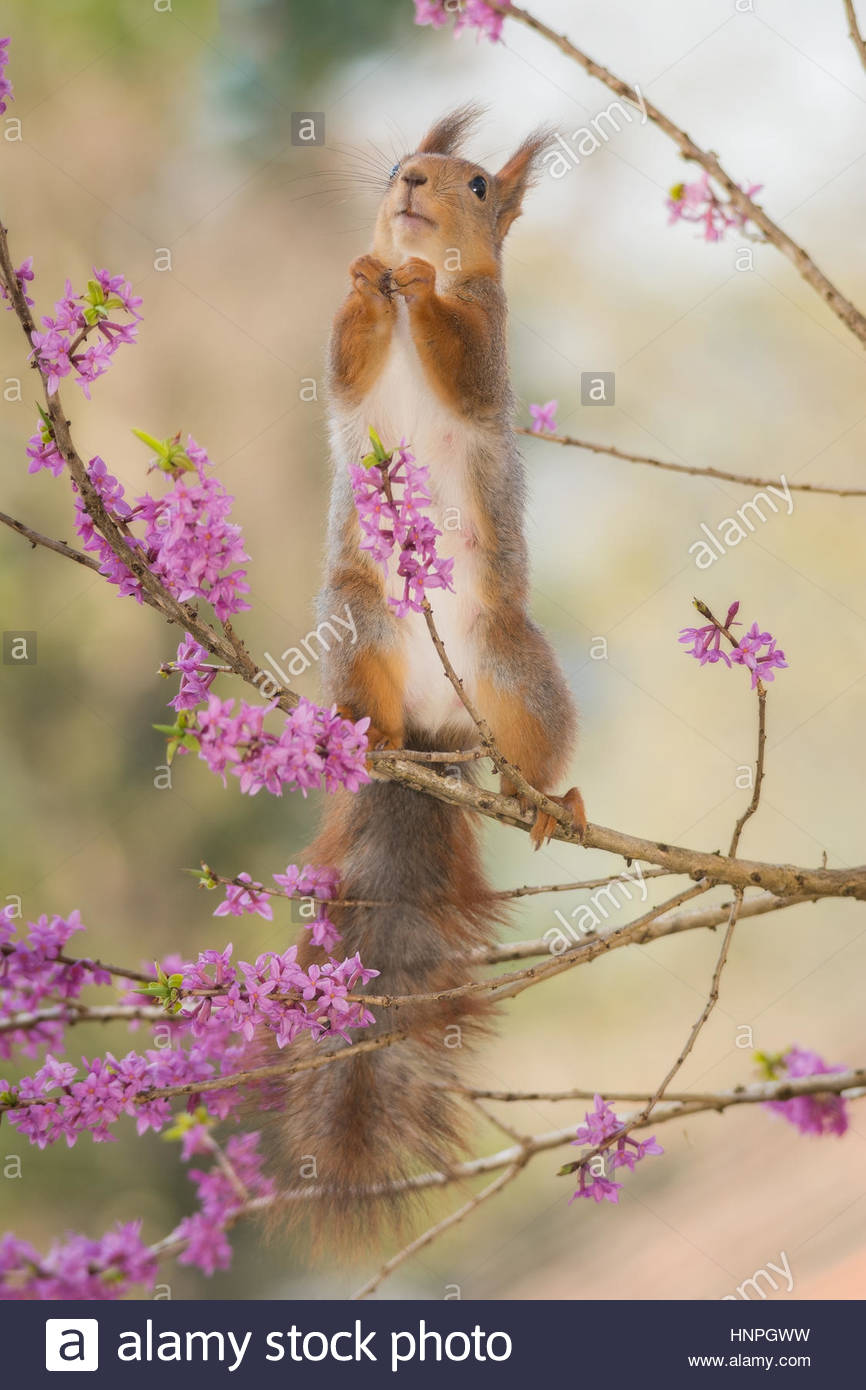 red squirrel standing on branch with lila flowers - Stock Image