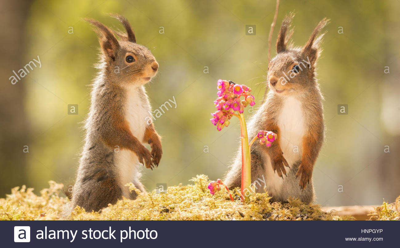 red squirrels standing on moss with lila flowers l - Stock Image