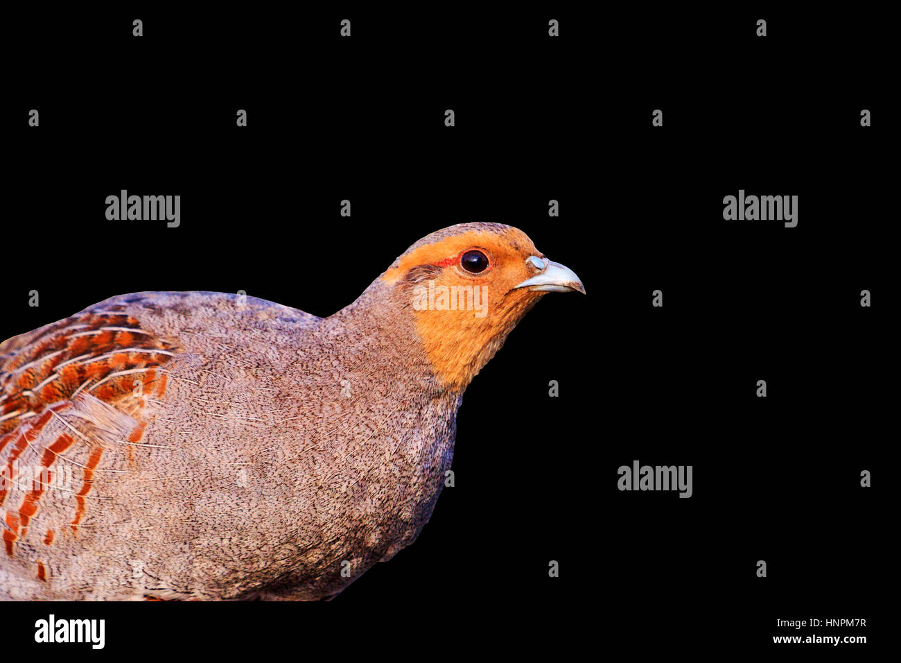 grey partridge on black background,Season 2017, opening of hunting, wildlife, wild bird - Stock Image
