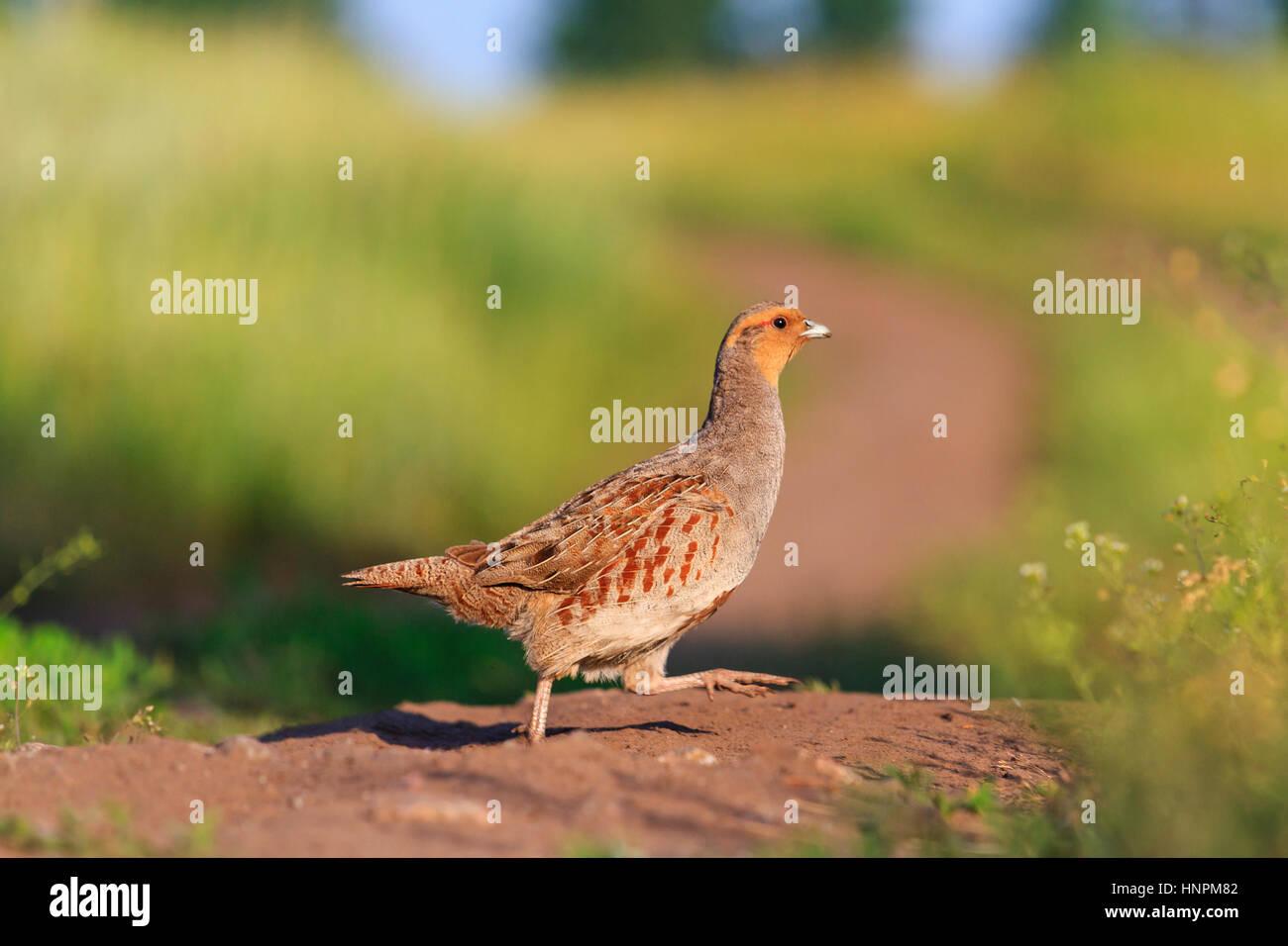 grey partridge road goes through the field,Season 2017, opening of hunting, wildlife, wild bird, - Stock Image
