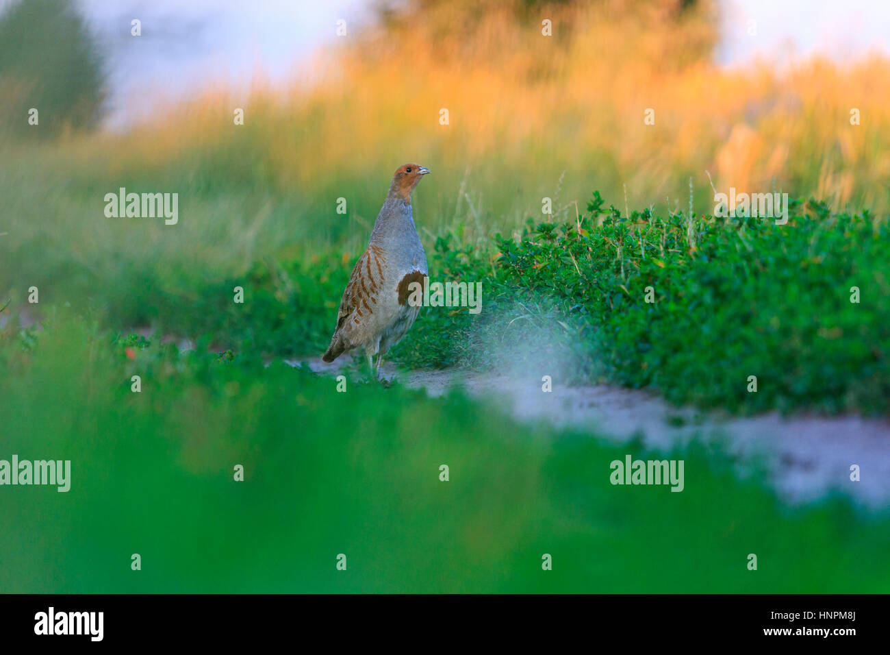 grey partridge defends his territory,sunset, summer, wildlife rare moment - Stock Image