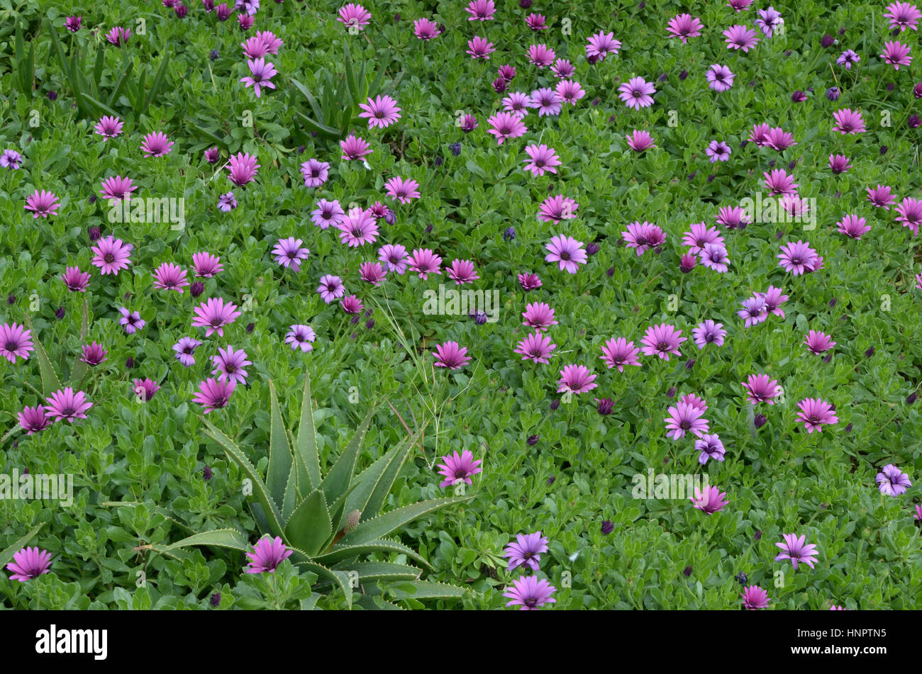 Purple flowers cultivated flowers daisies nature stock photos field of purple flowers amongst green ground cover with single aloe plant stock image izmirmasajfo