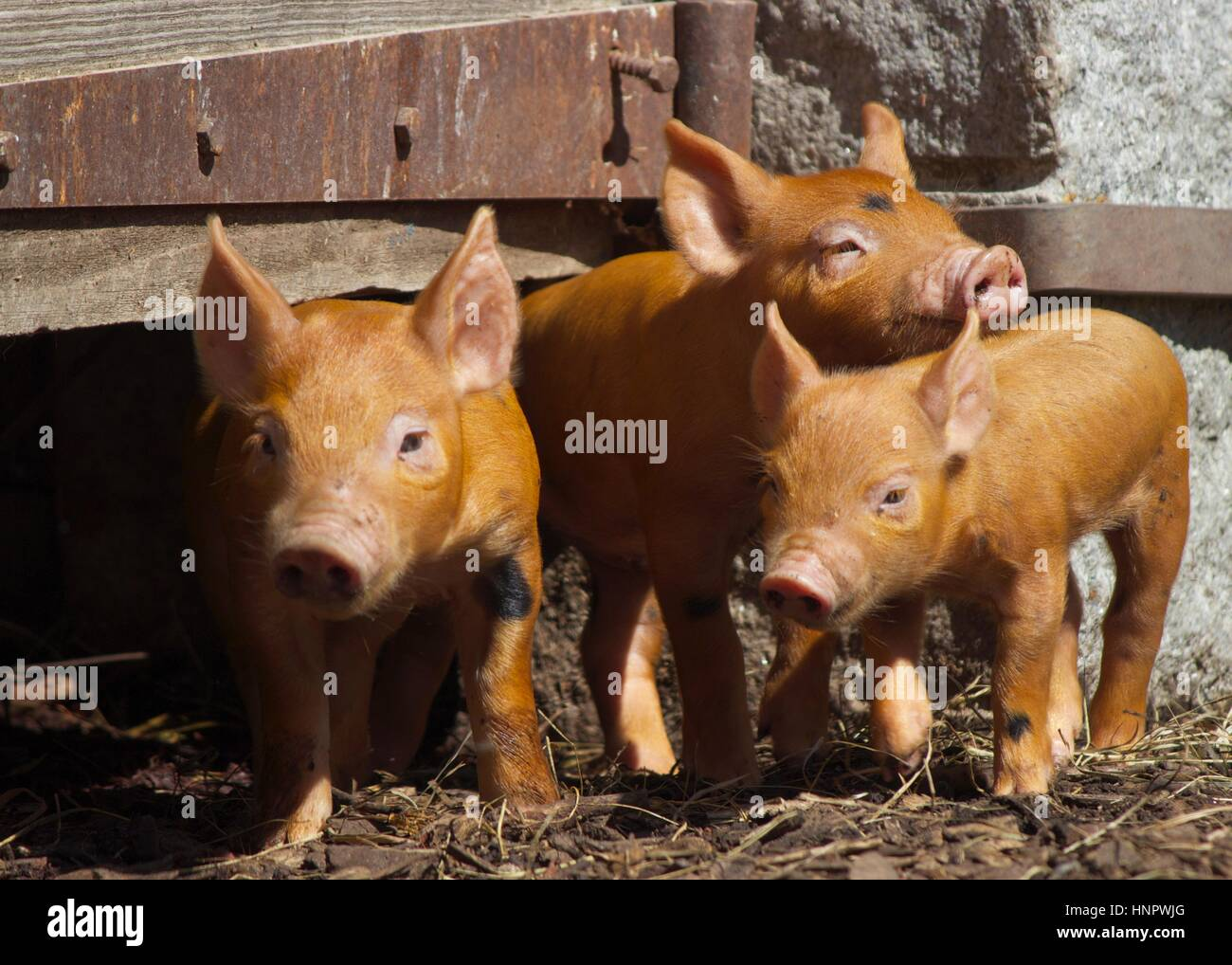 Three little piglets standing in a farmyard. - Stock Image