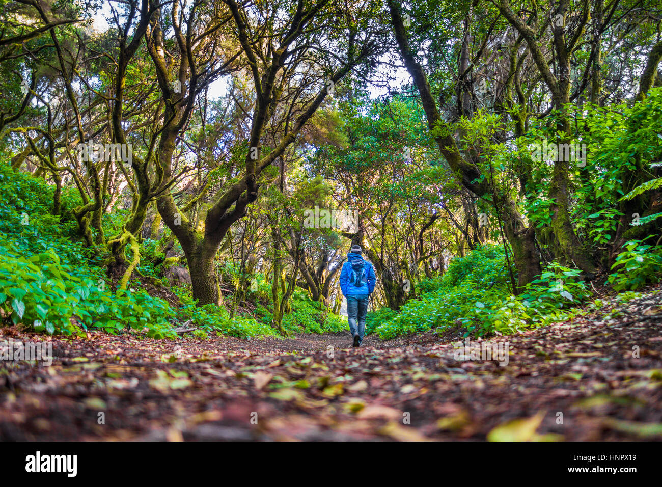 Low angle view of male tourist hiking through mystic forest of ancient trees on the beautiful island of El Hierro - Stock Image