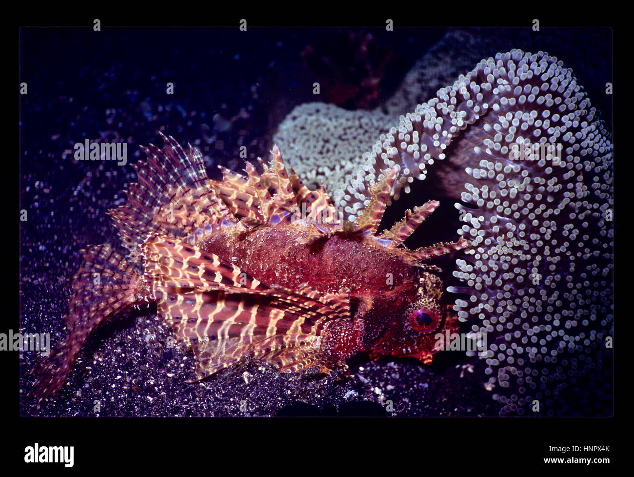 A dwarf lionfish (Dendrochirus biocellatus: 12 cms.) with its fins folded, resting beside a carpet anemone (Stichodactyla - Stock Image