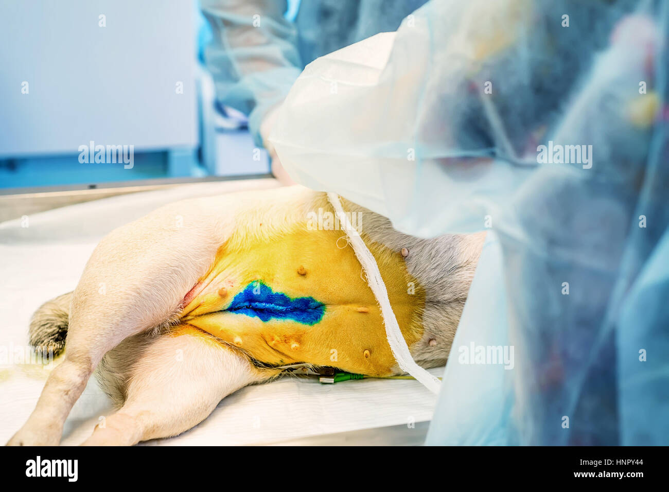 Veterinary doctors conducting surgery - Stock Image