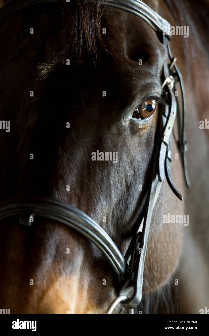 Portrait of an ex racehorse, Sharp Shoes, taken with bridle on. North Yorkshire, UK. - Stock Image