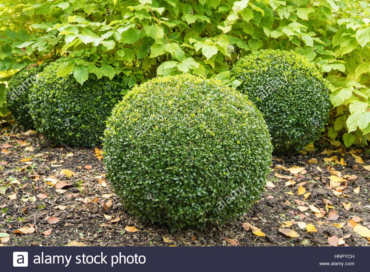 Buxus Sempervirens Topiary Stock Photos & Buxus