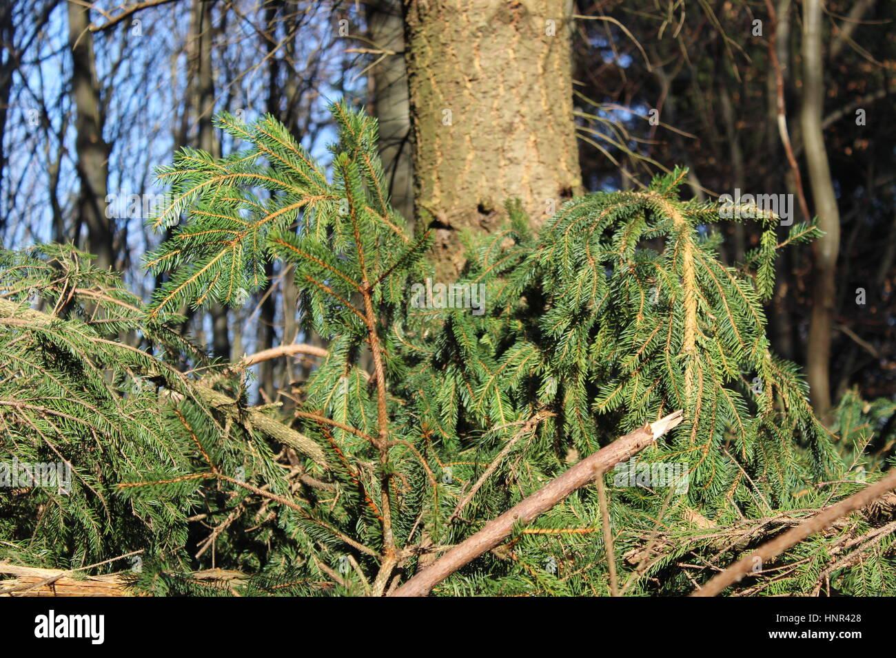 Felled conifer - Stock Image