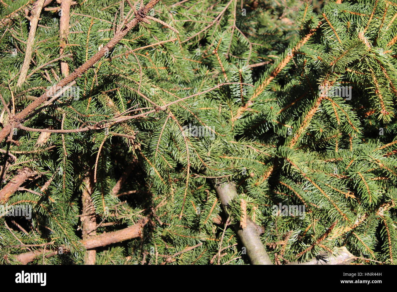 Felled conifer Stock Photo
