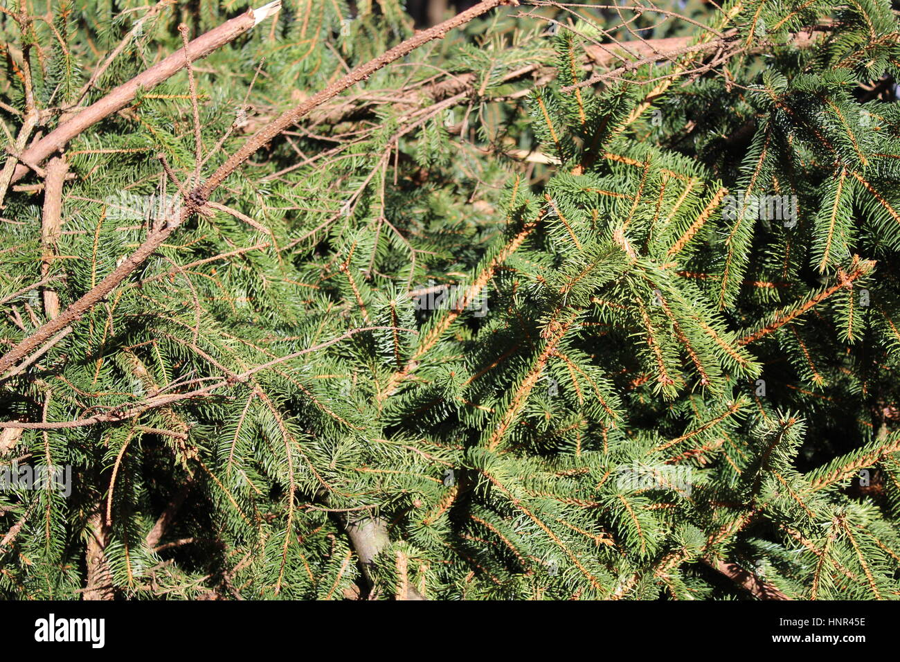 Felled conifer - Stock Image