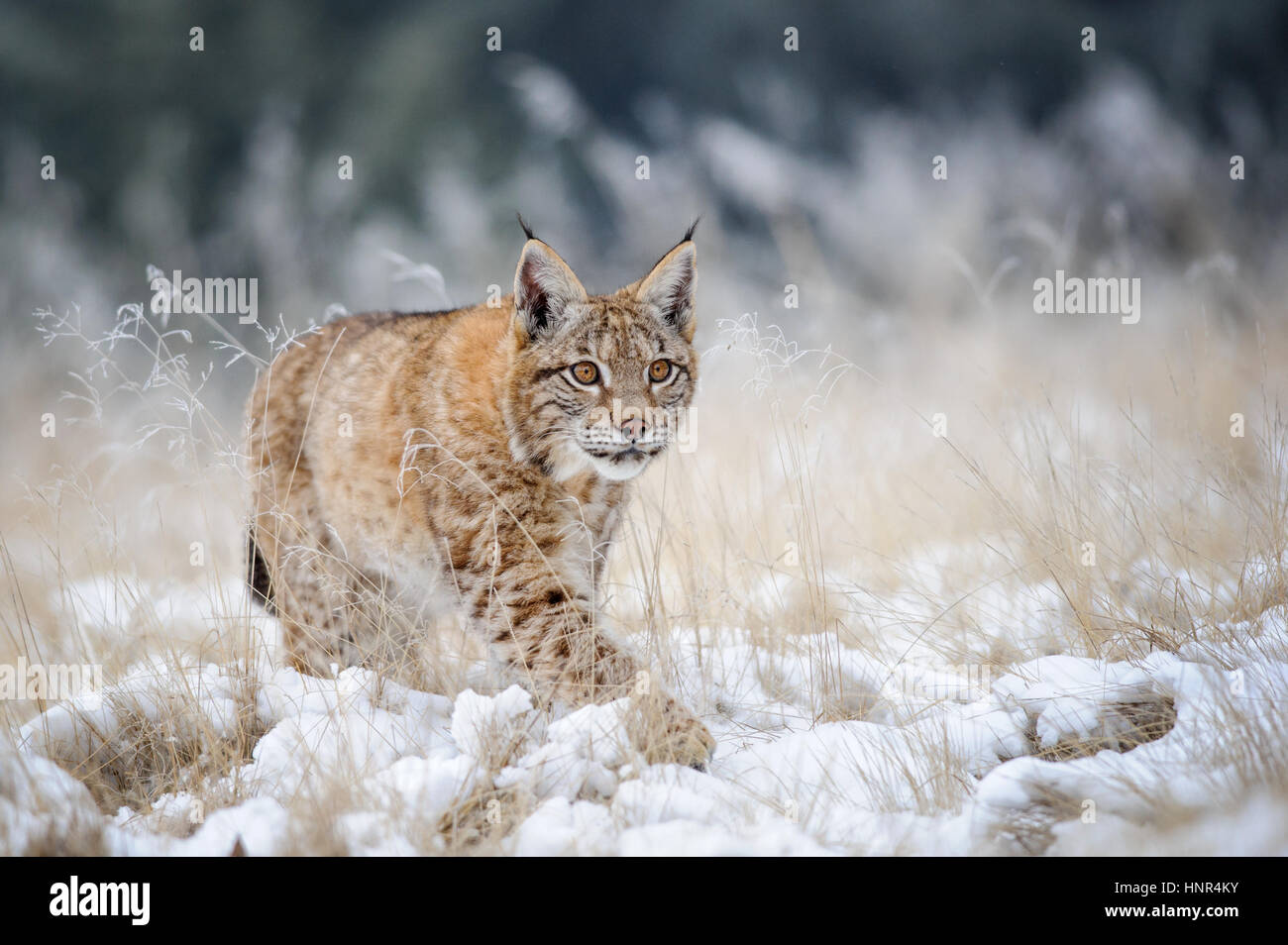 Eurasian lynx cub walking on snow with high yellow grass on background. Cold winter season. Freezy weather. Stock Photo