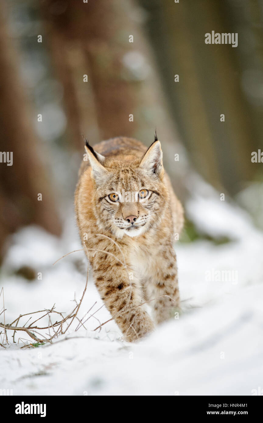 Eurasian lynx cub walking on snow in forest. Freeze cold season. Stock Photo