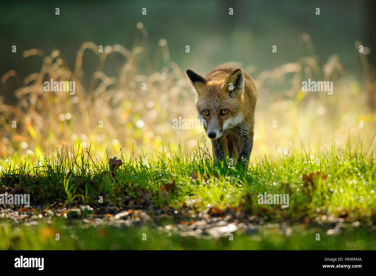 Red fox walking from front view in autumn backlight in colorfull green and yello grass - Stock Image
