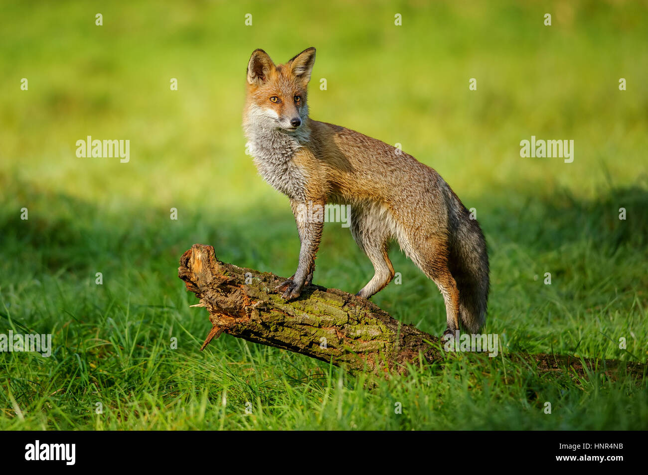 Red fox standing on tree trunk in green grass on nice autumn sunlight - Stock Image