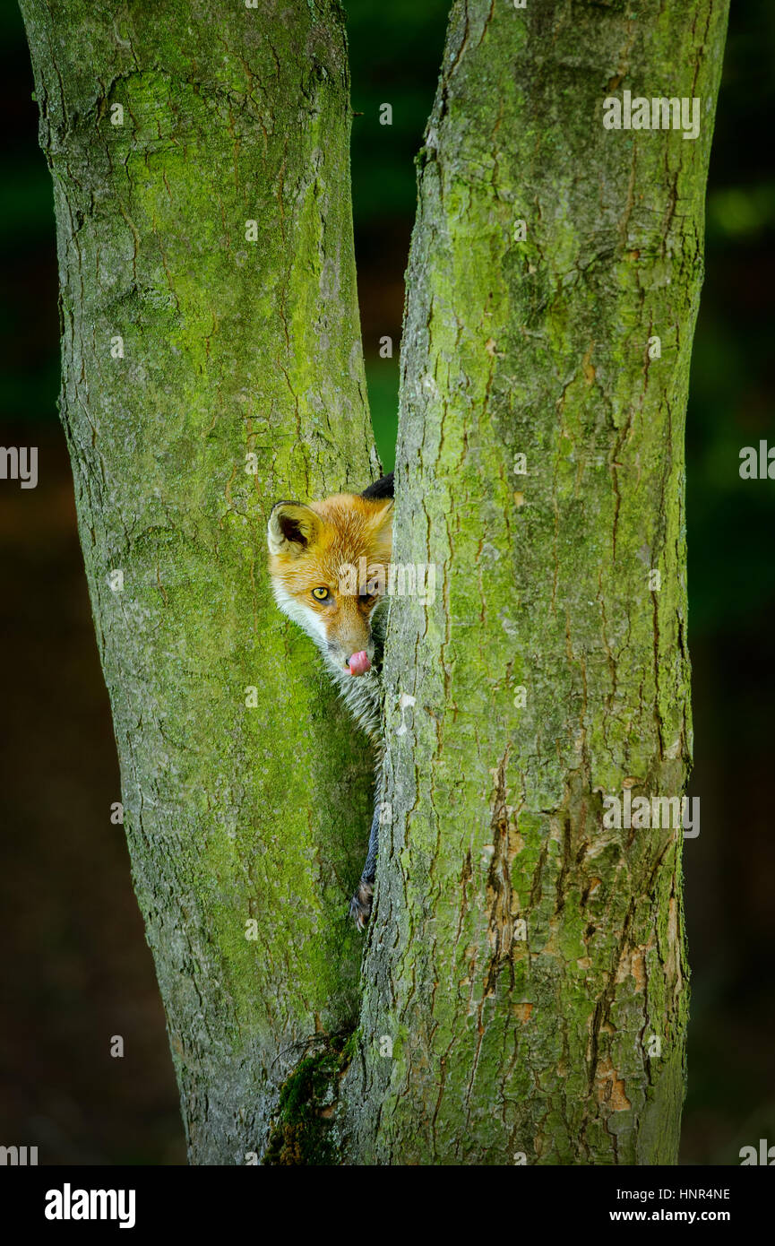 Red fox from front view lick itself while hidden between two tree trunks - Stock Image