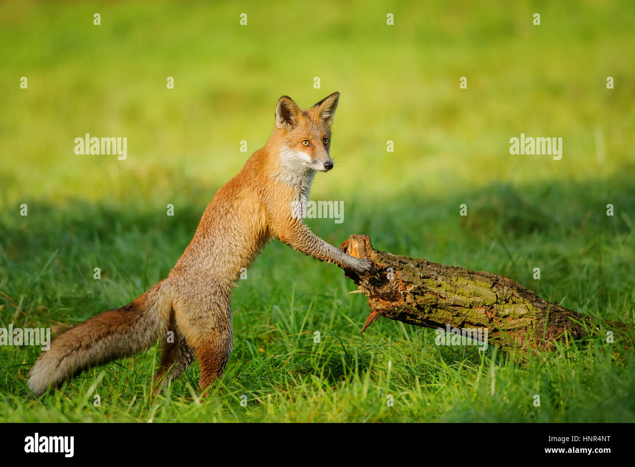 Red fox standing in green grass leaning to tree trunk in beautiful autumn sunlight - Stock Image