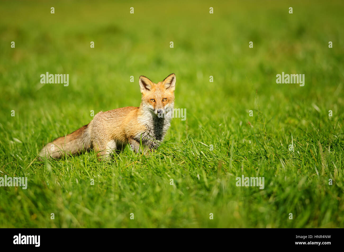 Red fox standing in green grass from front view Stock Photo