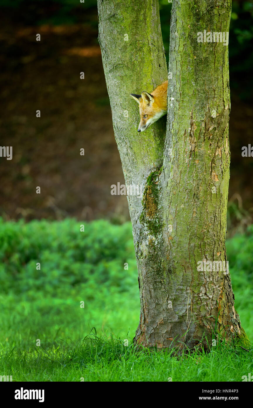 Hidden red fox looking down from tree trunk to the green grass Stock Photo