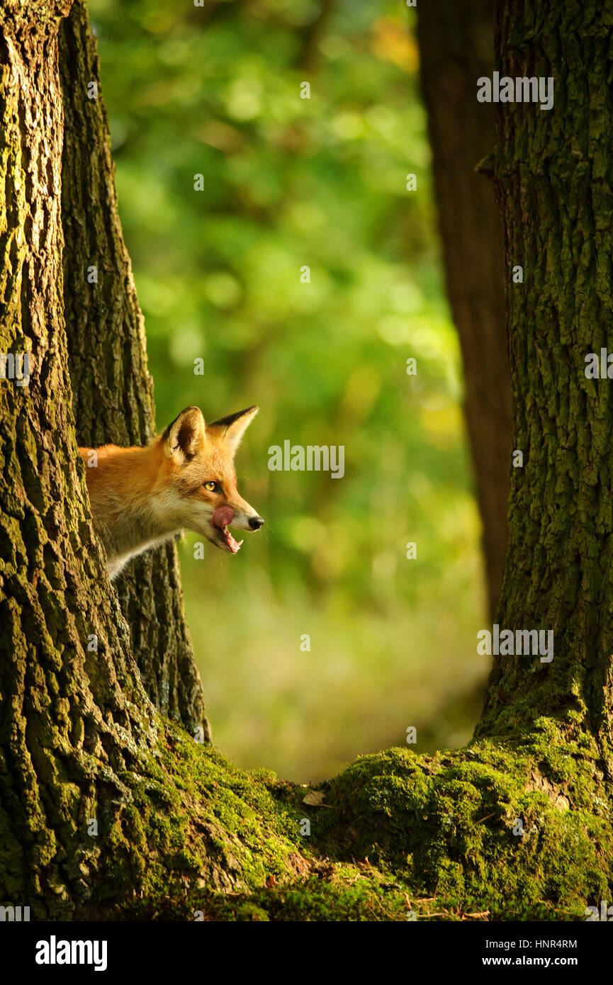Red fox hidden behing tree trunk peep a lick it self in beatuy sunny forest in autumn - Stock Image