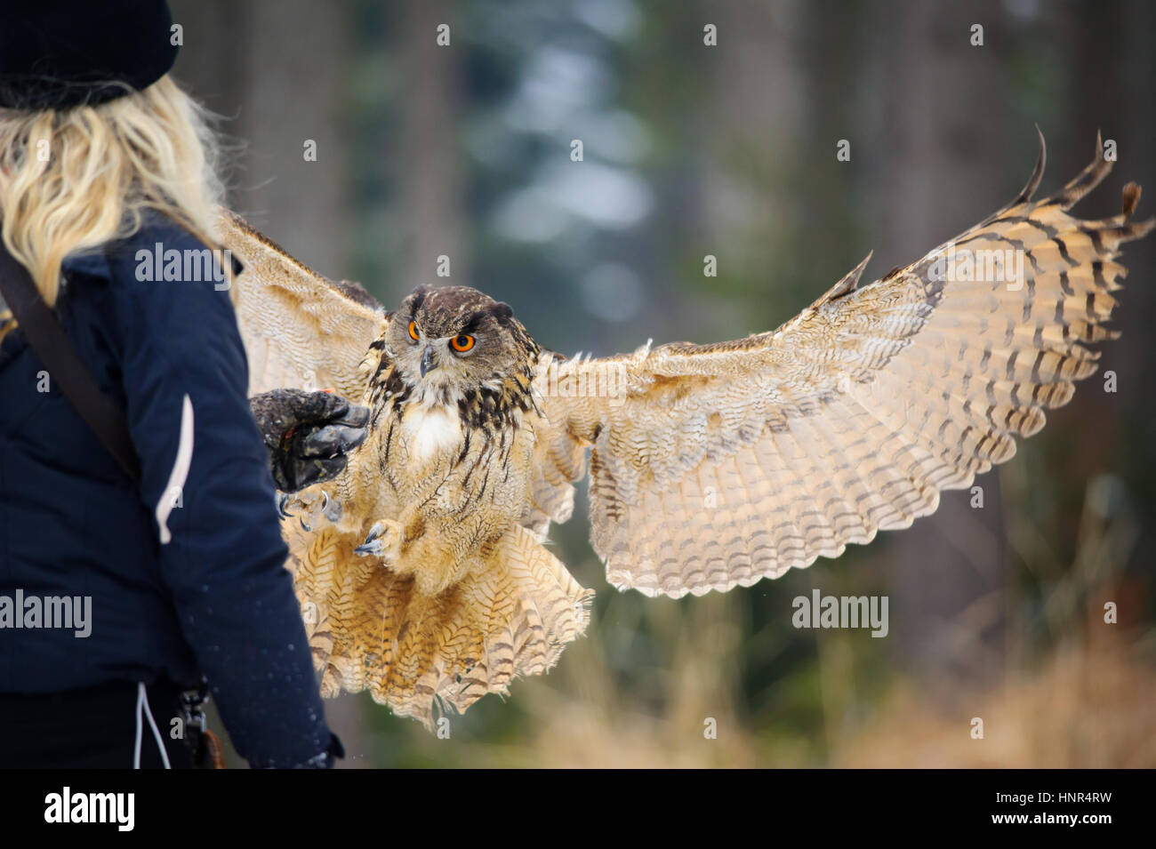 Falconer girl with blong hair from back with gauntlet and landing flying Eurasian Eagle Owl winter forest - Stock Image