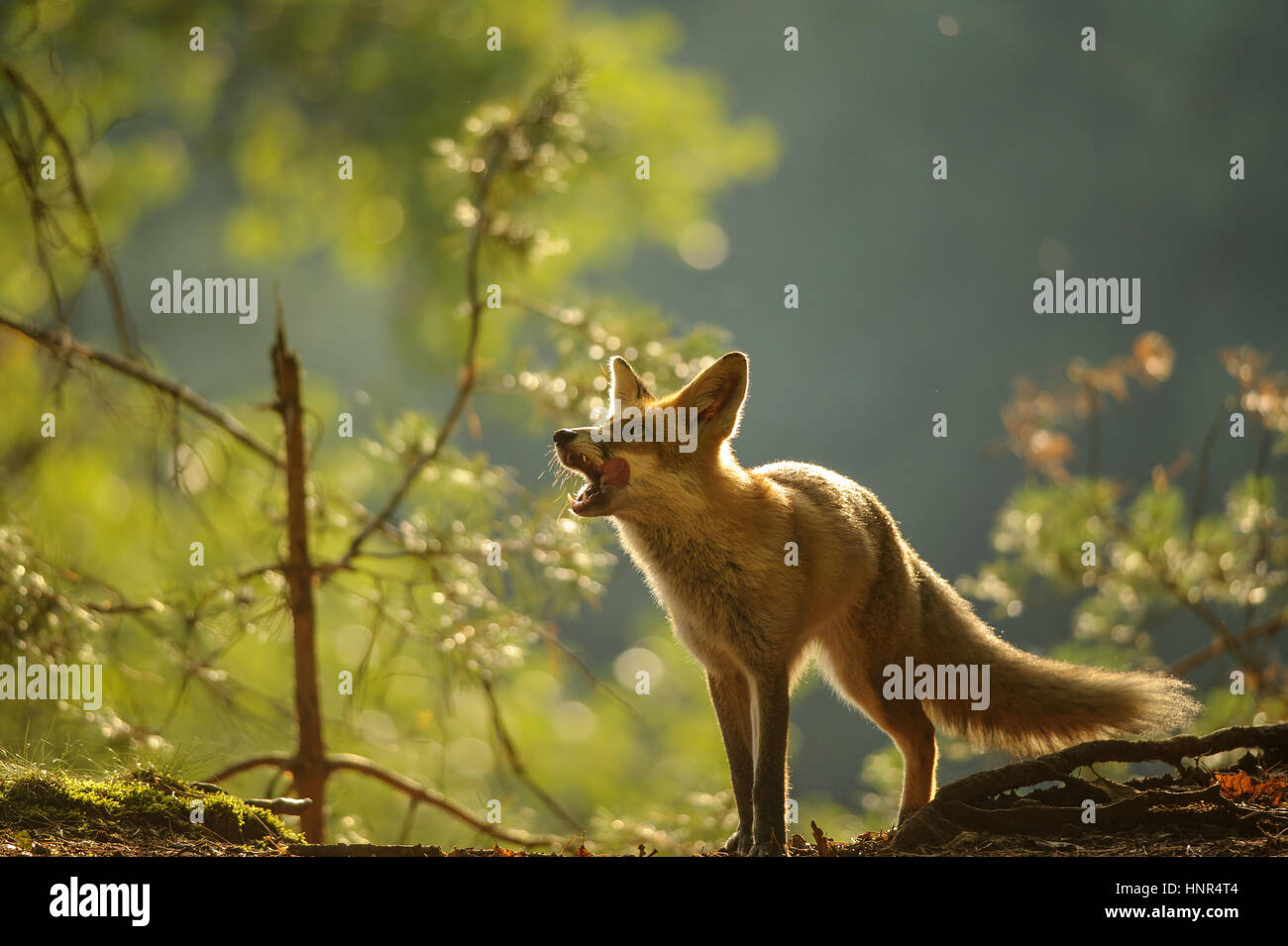 Red fox lick it self in forest beauty autumn backllight - Stock Image