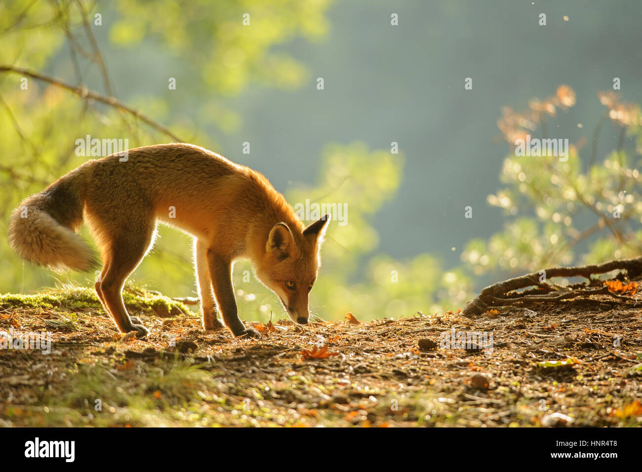 Sniffing red fox in beauty autumn backlight from side view - Stock Image