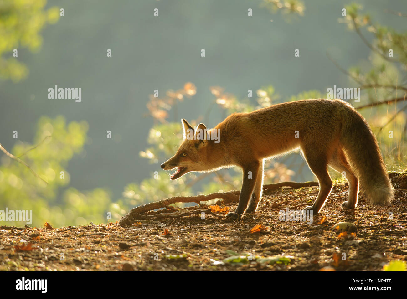 Crouched red fox in beauty autumn backlight with open mouth - Stock Image
