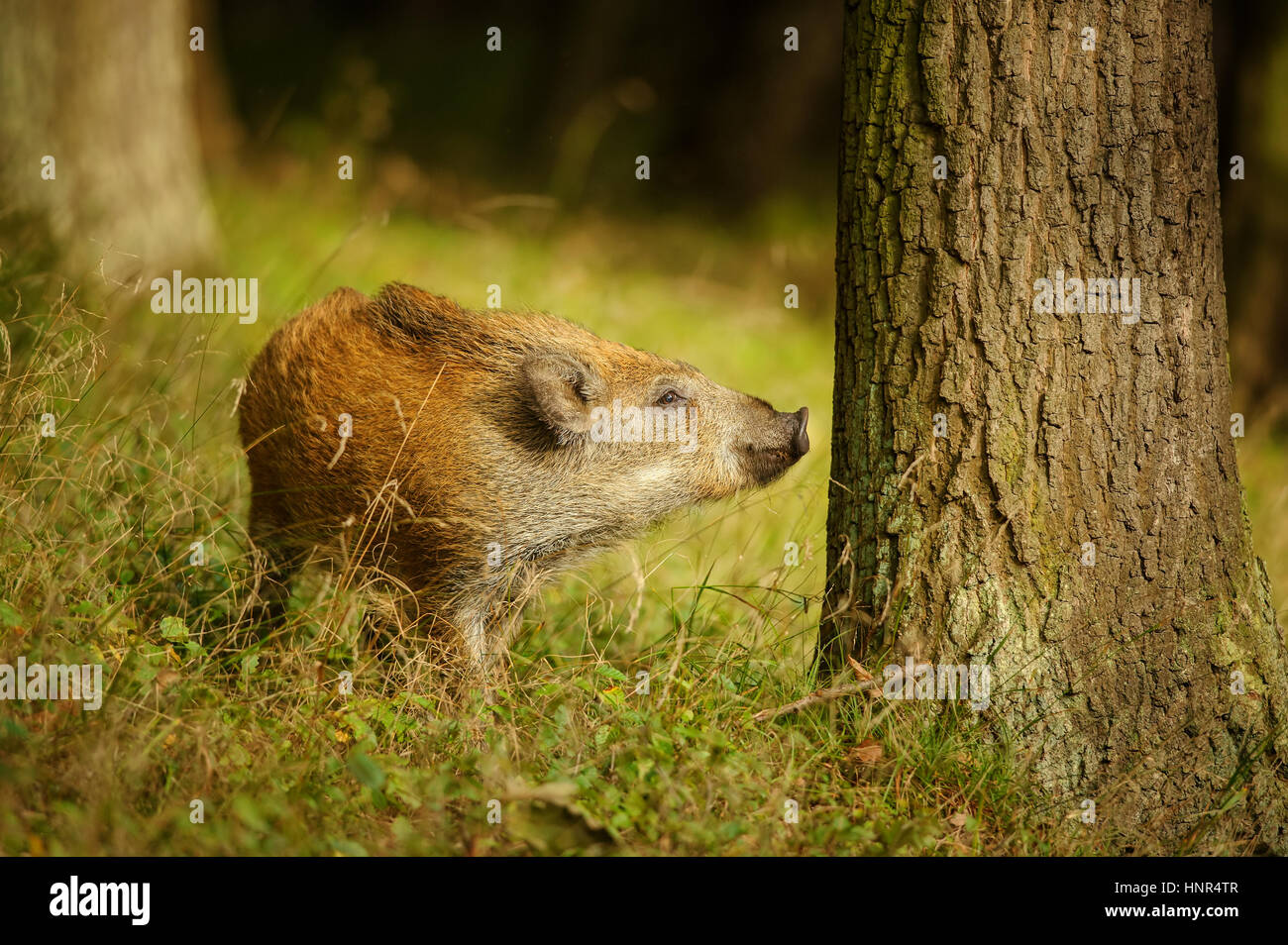 Wild Boar Baby Sniffing To The Tree Trunk While Standing In Grass Colorful Forest