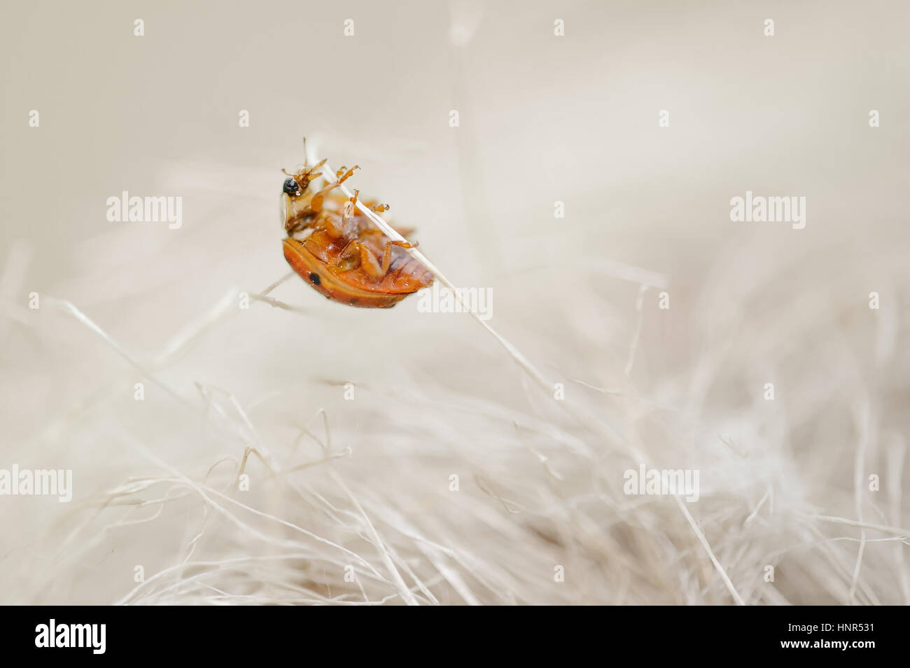 Ladybug looking like a monster from horror. Scary bug climbing on beige stalks. Stock Photo