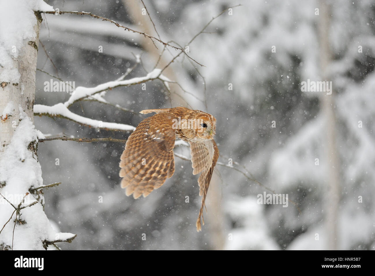 Flying tawny owl in winter time whne is snowing - Stock Image