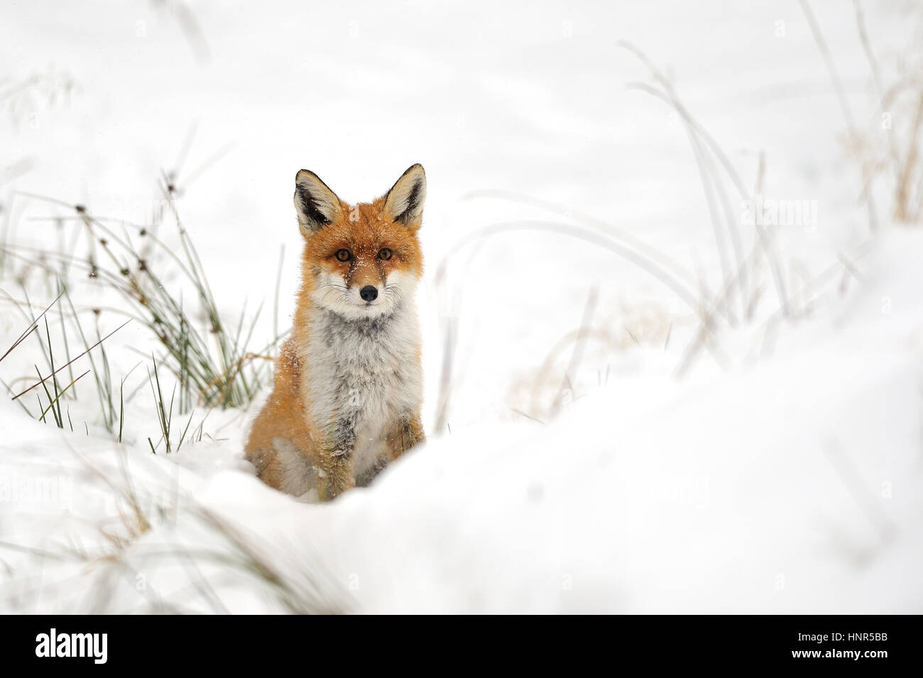 Red fox in the winter on snowy ground - Stock Image