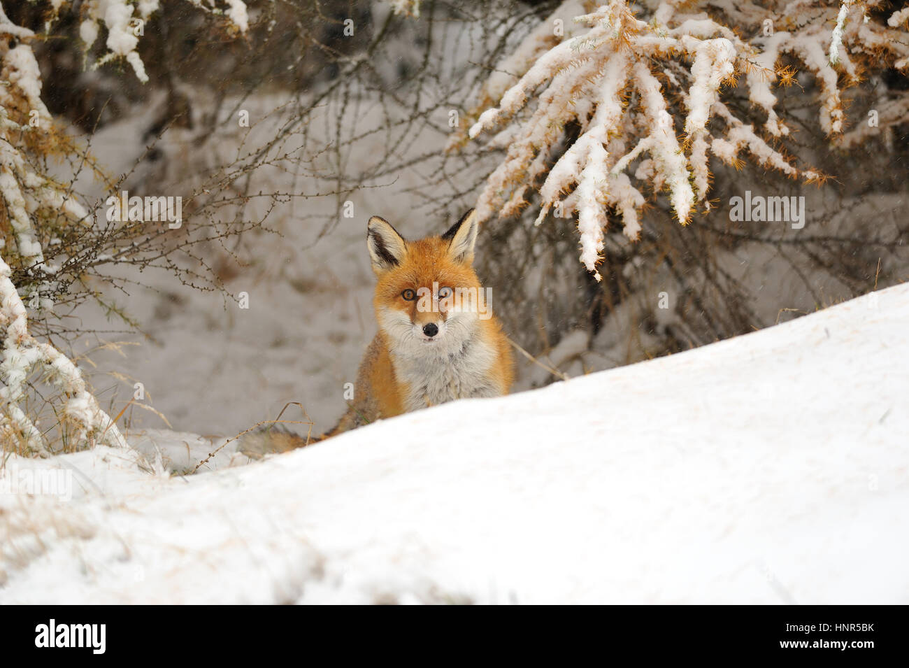 Red fox in the winter on snowy ground bellow larch - Stock Image