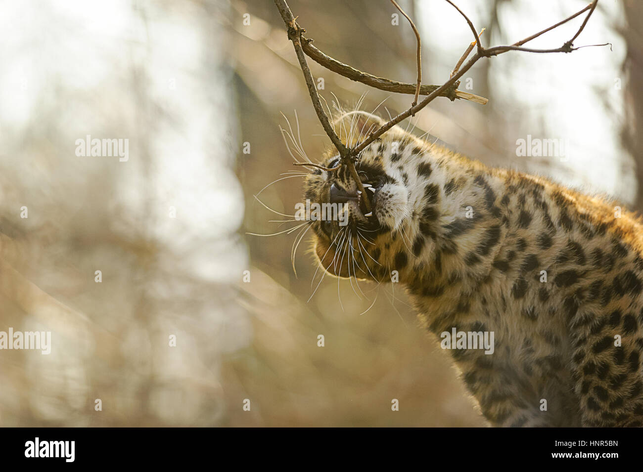 Amur leopard cub in game and bite tree branch - Stock Image