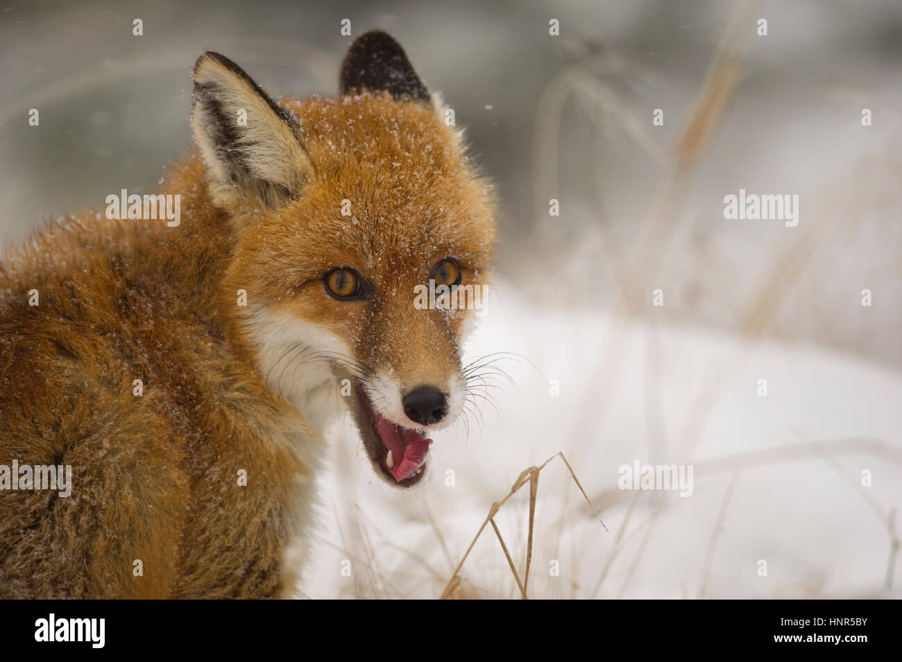 close up red fox portrait in the winter on snowy ground - Stock Image