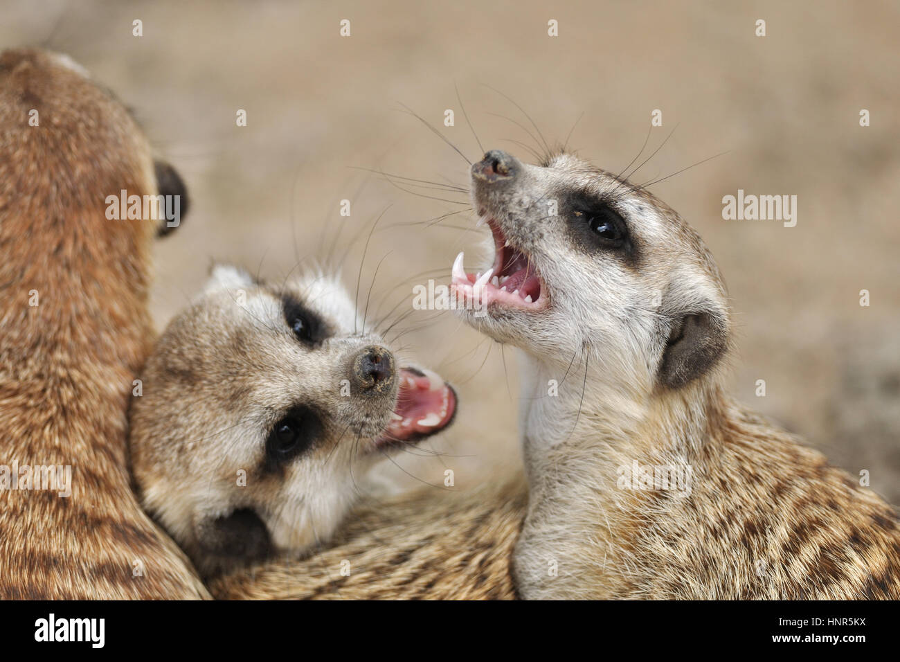 Meerkat in group with open mouth and visible teeth - Stock Image