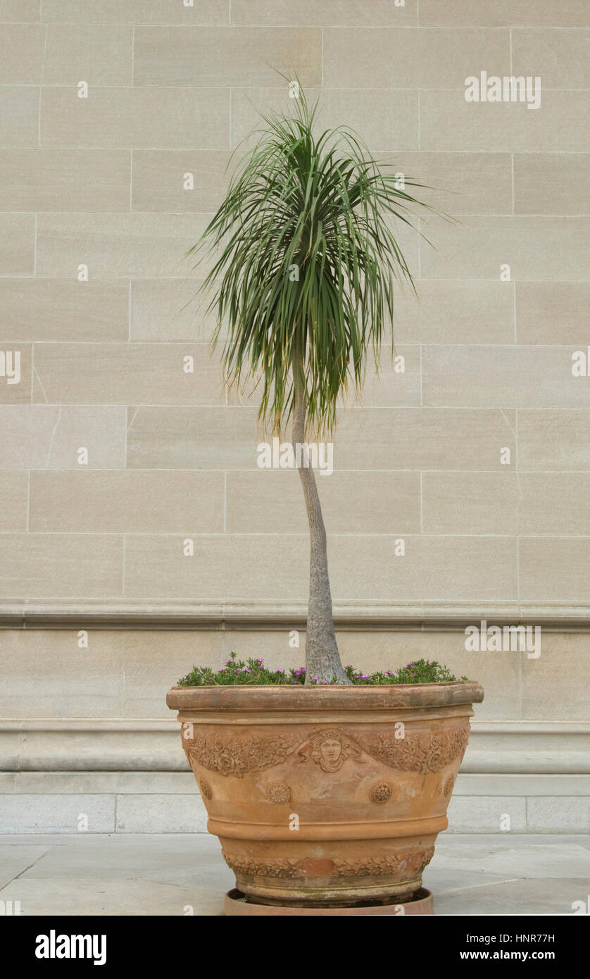 Ponytail Palm Stock Photos & Ponytail Palm Stock Images - Alamy on indoor pony tail plant, corn house plant, indoor palms low light, wicker basket with silk areca palm plant, ponytail bonsai plant, elephant foot house plant,