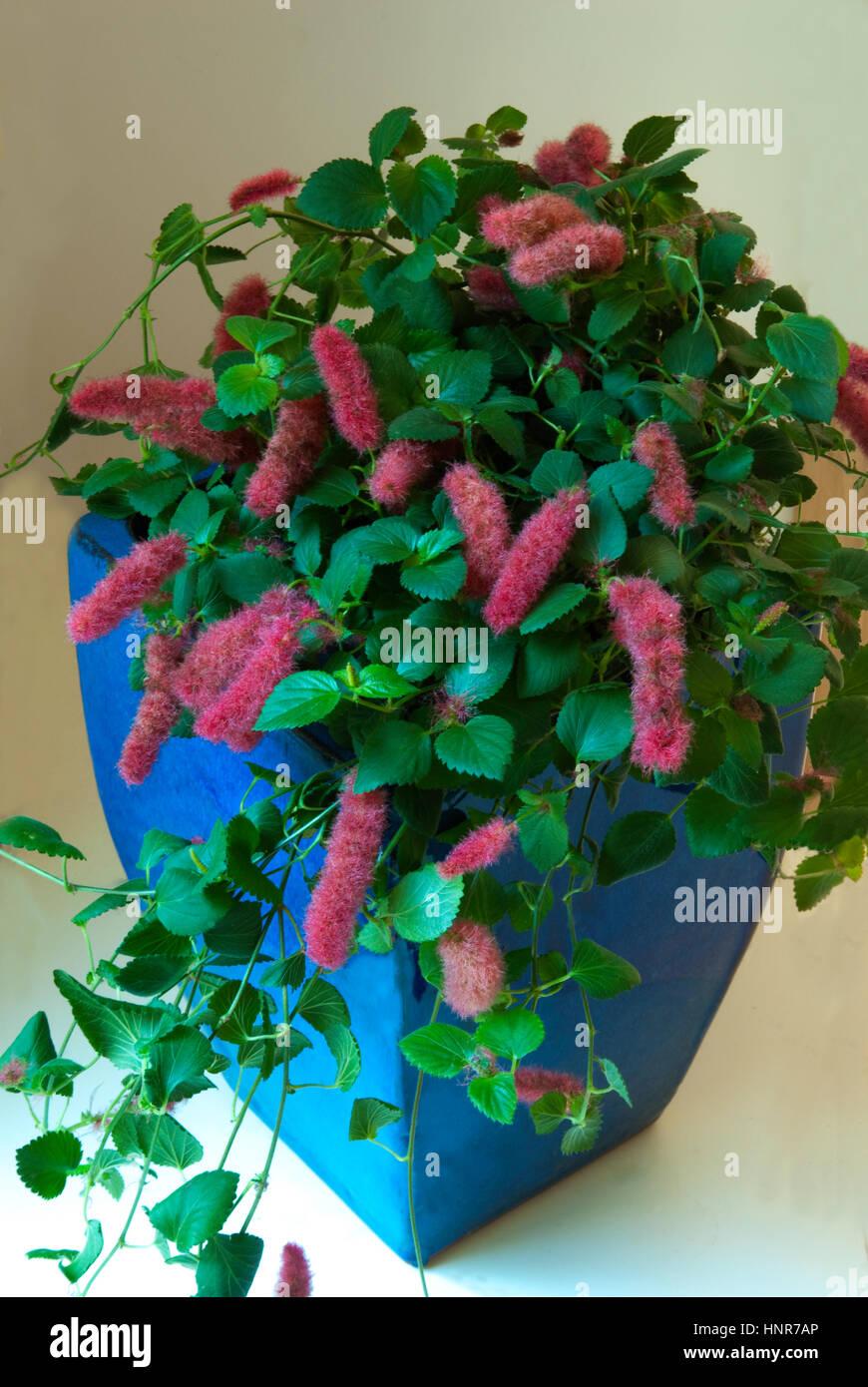 Strawberry Firetails Acalypha Pendula Stock Photo 133891038 Alamy